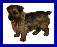 a well breed Norfolk Terrier dog